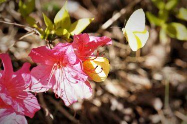 【富士森公園】3月20日ソメイヨシノ桜の開花状況とお花見について